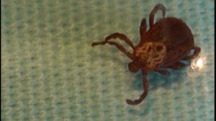 Может ли муравьиная кислота защитить человека от укуса клещей Серия 2