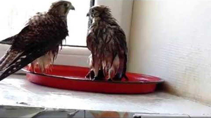 Два сокола-пустельги принимают ванну / Two kestrels have a bath