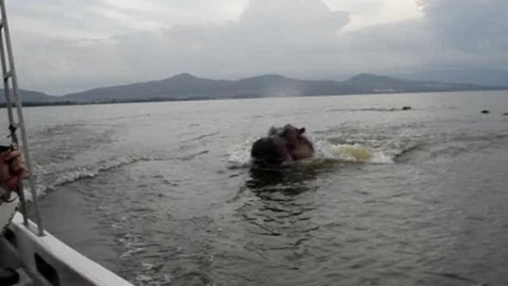 Hippo Chases Boat! Crazy!