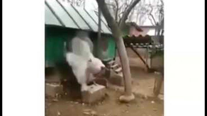 Самый большой петух в мире