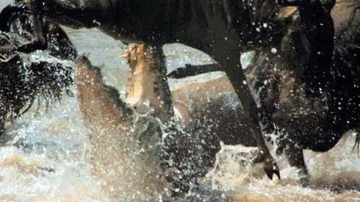 Serengeti (2011): Gnus - Die wahren Herrscher der Serengeti