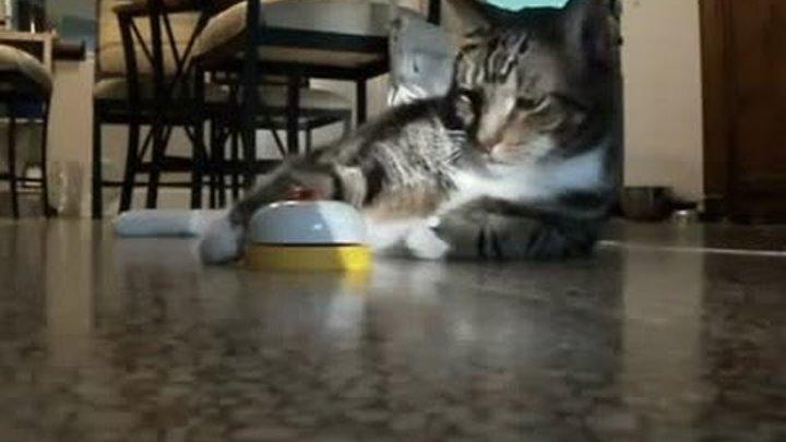 Кот со звоночком требует свой обед