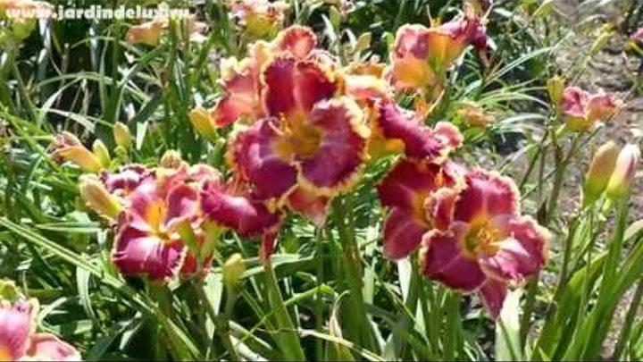 Цветение сортового лилейника GOSSIP GIRL в саду www.jardindelux.ru