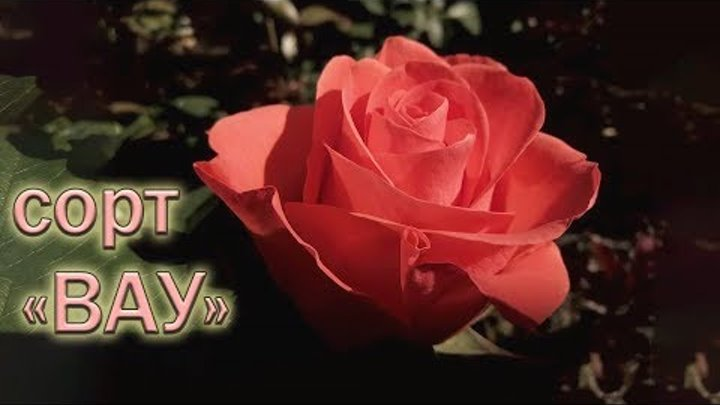 Обзор чайно-гибридных роз сорта Вау