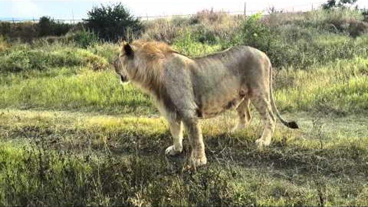 лев в Тайгане лазает по людям