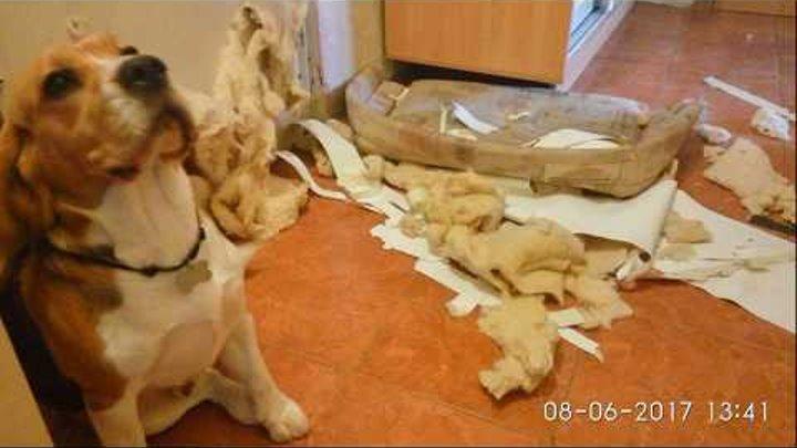 Бигль Бублик остался сам дома №3. Е-МАЕ!!!...Бигль...бигль   Beagle himself at home - RESULT)))