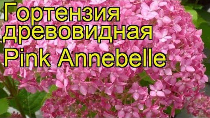 Гортензия древовидная Пинк Анабель. Краткий обзор, описание hydrangea arborescens Pink Annebelle