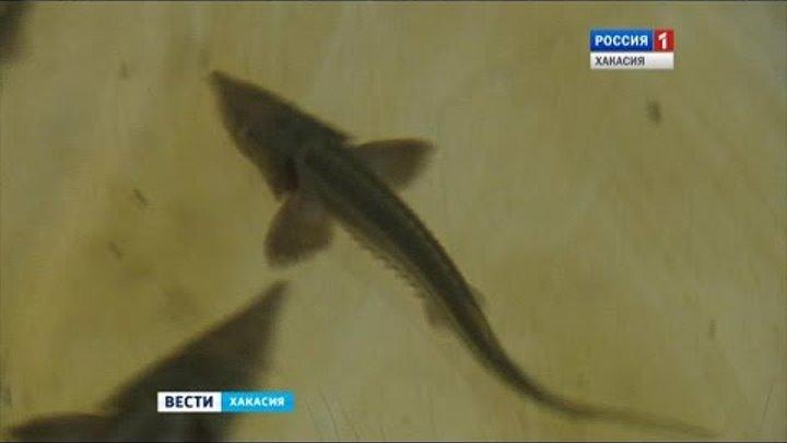 Река Абакан через несколько лет станет одной из самых рыбных в республике 27.10.2016