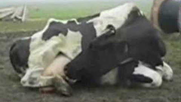 Может Ли Ласка Сосать Корову
