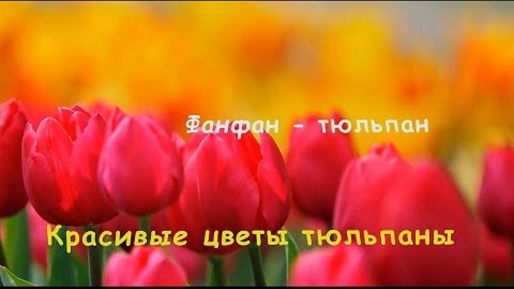 Фанфан-тюльпан. Красивые цветы тюльпаны.