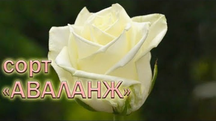 Обзор чайно-гибридных роз сорта Аваланж