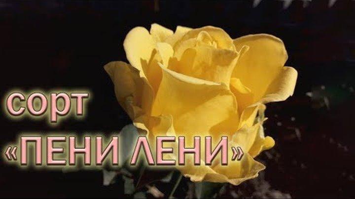 Обзор чайно-гибридных роз сорта ПЕНИ ЛЕНИ