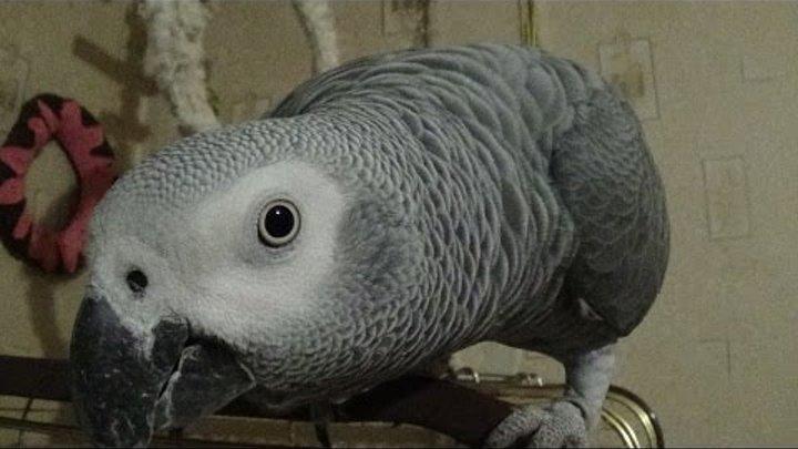 Любопытный попугай Рома Тук- Тук- Тук ЧТО ТАМ? КТО ТАМ? - 2 сезон, 8 серия Jaco Roma talking parrot
