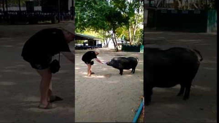 Таиланд Паттайя февраль 2017. Кабанчик на острове Принцессы.