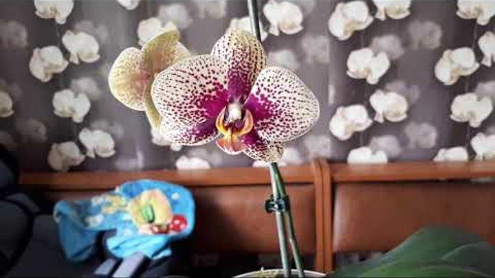 Результат после стимуляции роста янрарной кислотой у орхидеи