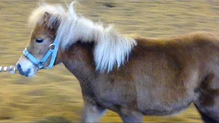 Маленькие Пони. Кони Пони. Самая маленькая лошадь. Футажи для видеомонтажа
