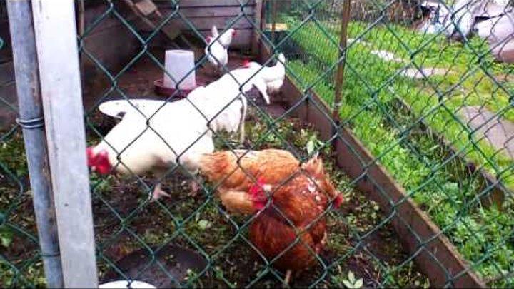Как отличить курицу от петуха