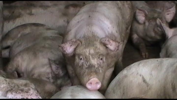 Конфлікт в Яворівському районі. Чернилявські свині 14-04-16
