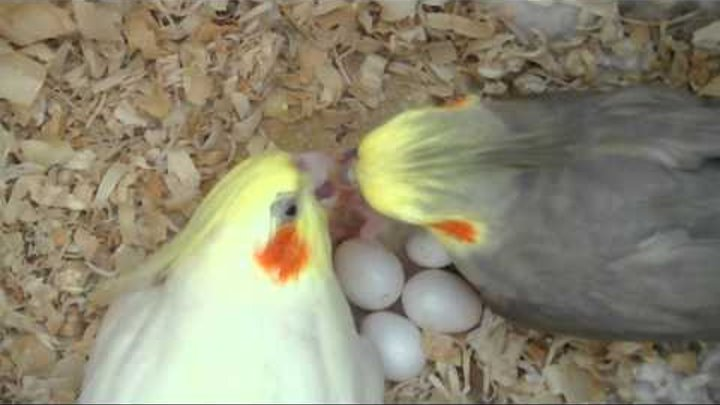 Our Cockatiels P-chan & Pebble Feeding Their Baby - 3 days old