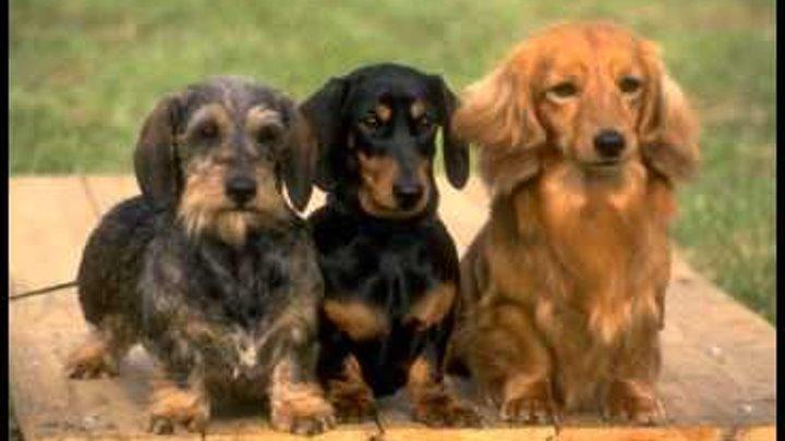 Такса. Собака такса. Порода собак такса.