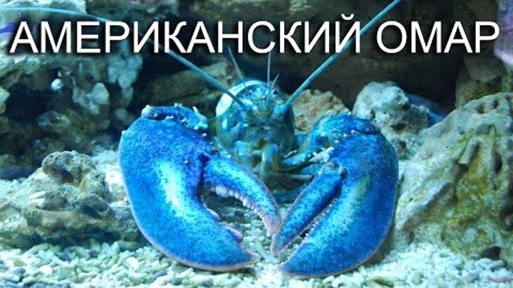 Американский омар - лобстер синий /Океанариум ТРК Планета Нептун Санкт-Петербург СПб