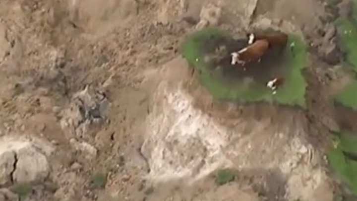 Cows stranded on 'island' after New Zealand earthquake – aerial video