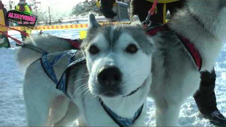 гонка на собачьих упряжках на Алтае 2013 г тел 252 167 АЛТАЙВИДЕО