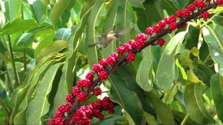 Колибри на Кубе. Sol Cayo coco 4*