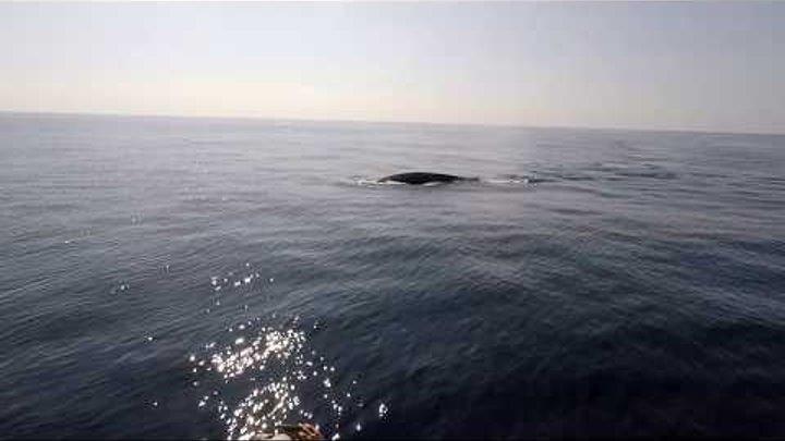 Whale watching Sri Lanka / Синие киты Шри Ланка / Blauwale Sri Lanka