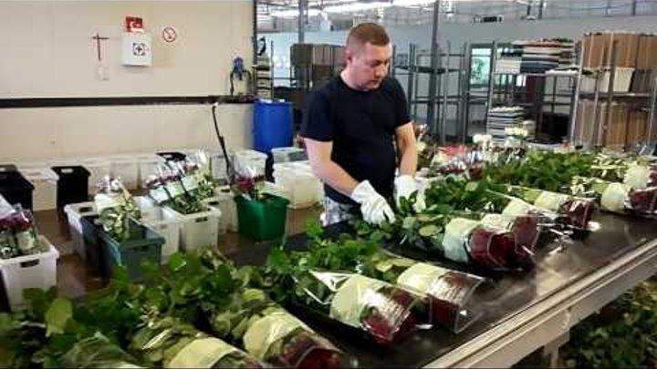 Новости Тулы: Как в Тульской области растят розы на продажу