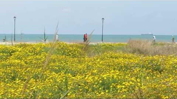 Жёлтые цветы Хризантемы и синее Средиземное море!!!Кирьят-Ям.Израиль.