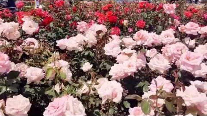 #ЮжнаяКорея(на русском): смотреть на фестиваль роз- бесплатно! Мой корейский муж😉