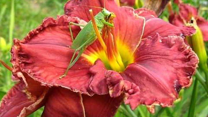Кузнечик-гурман :о) Grasshopper - Amateur Gourmet :o)