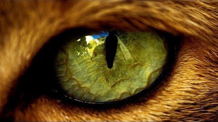 Почему нельзя смотреть в глаза кошке? Что будет если долго смотреть кошке в глаза?
