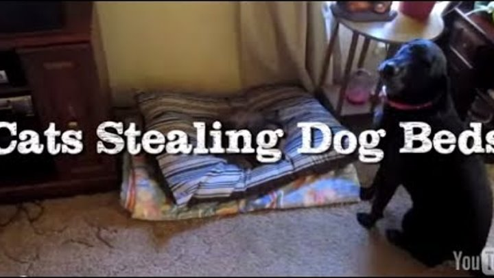 Check out the reaction of dogs when they find cats sleeping on their beds