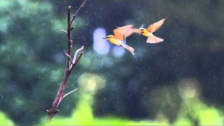 Relaxing Sounds   Birds in The Rain   Meditation Bowls Music play in Background for Sleep Spa Study