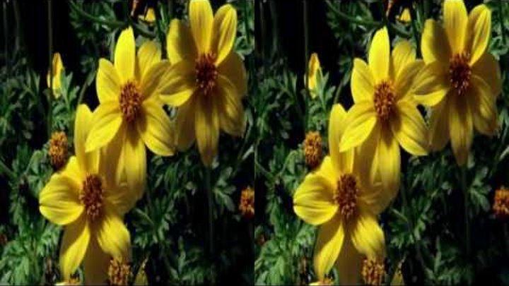 Царство растений 2 серия-Раскрытие секретов. FullHD 3D (горизонтальная анаморфная стереопара)
