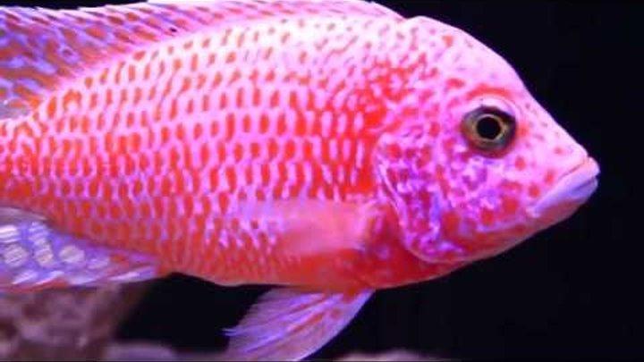 Аулонокара красный дракон (Aulonocara firefish)