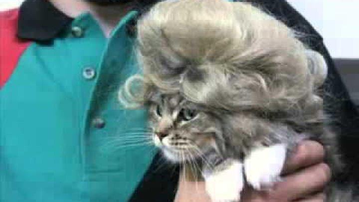 Смешные коты и кошки. Супер, фото котов в париках!