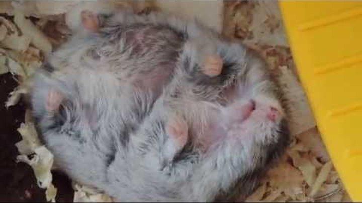 Хомячок спит на спине