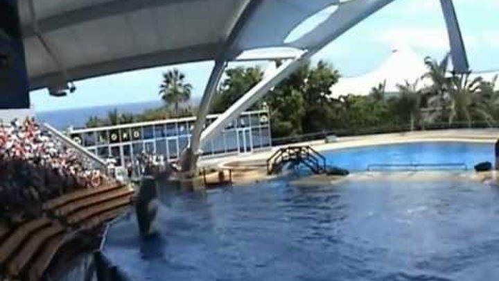Шоу китов убийц ( косаток ). Killer Whale Show. Orca Ocean Show. Tenerife. 2012.