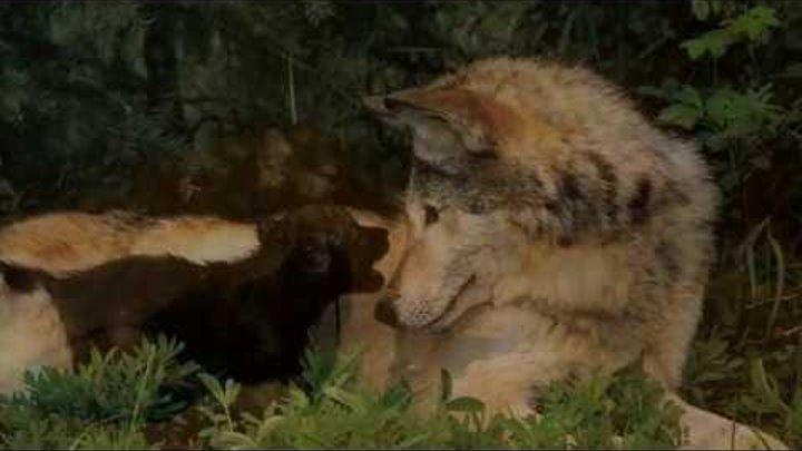 Волчонок - волк исп. Виват Басов