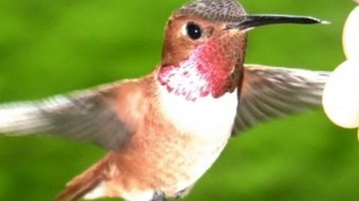 Slow Motion Hummingbirds 8 Casio EX-F1 upscaled to 720p +HD