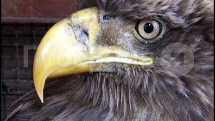 Раненого орлана нашла семья хабаровчан на обочине. MestoproTV