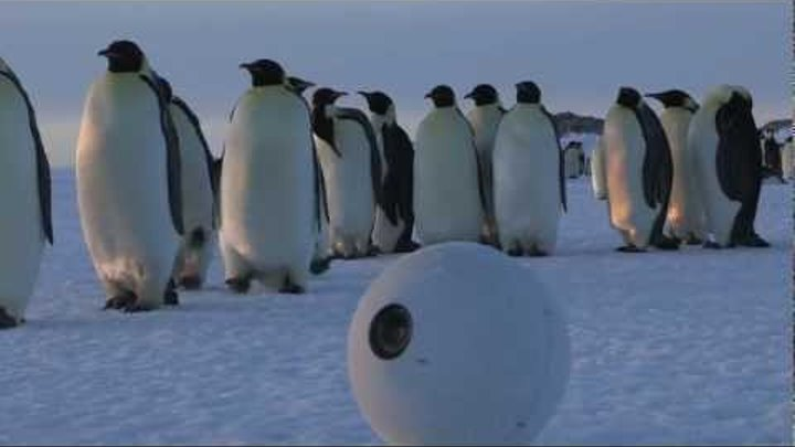 MYSTERIOUS OBJECT Films Emperor Penguins for the BBC Series Penguins - Spy in the Huddle