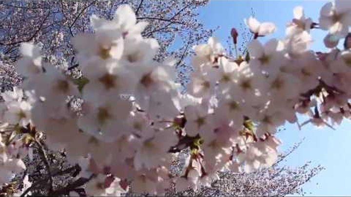 Sakura Ise Jingu and Tsuruma Park. Nagoya, Mie-ken, Japan 2017