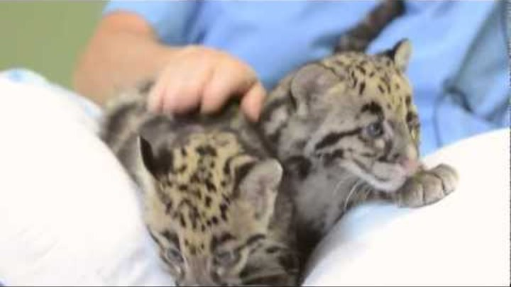 Clouded Leopard cubs play at Point Defiance Zoo & Aquarium