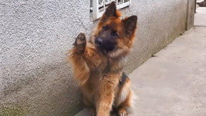 Привет! Длинношерстная Немецкая овчарка Нора. Hello! Long-haired German Shepherd Dog Nora.