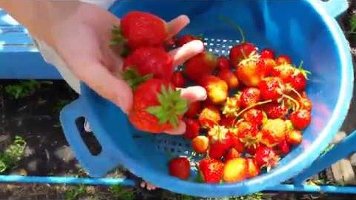 Замораживаем ягоды на зиму ( клубника с сахаром)...