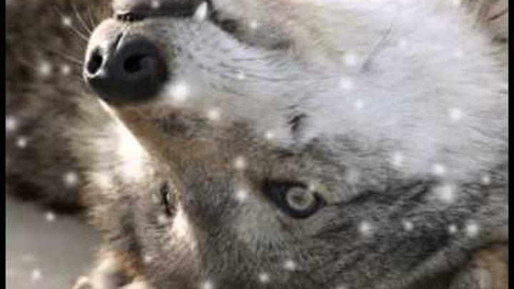 Клип про волков (Нюша вою на луну)